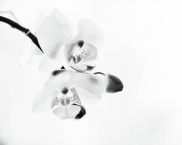 Wall Art - Photograph - Orchid Zen Monotone by Susan Capuano
