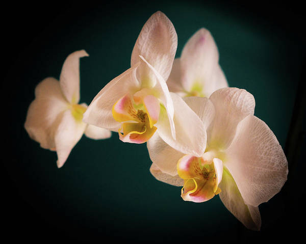 Photograph - Orchids by Ian Thompson