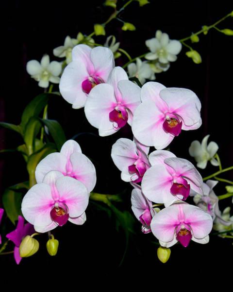 Orchids On Black Art Print