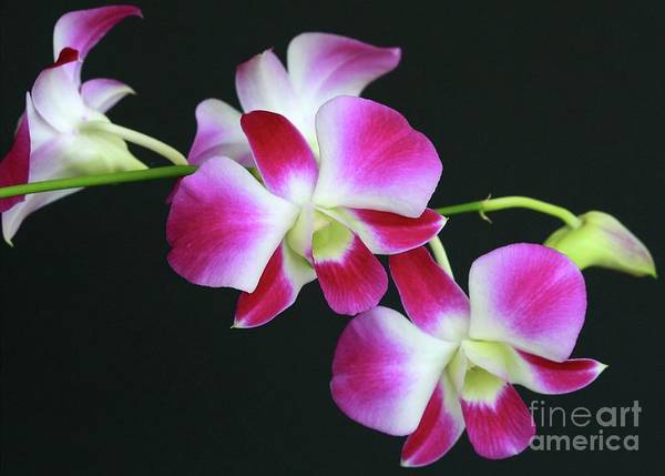 Photograph - Orchids by Sabrina L Ryan