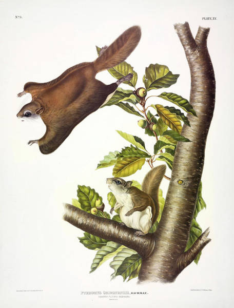 Wall Art - Painting - Oregon Flying Squirrel by John James Audubon