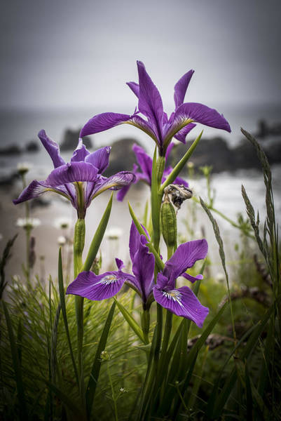 Photograph - Oregon Iris At The Beach by Robert Potts
