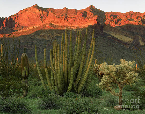 Wall Art - Photograph - Organ Pipe Cactus National Monument by Willard Clay