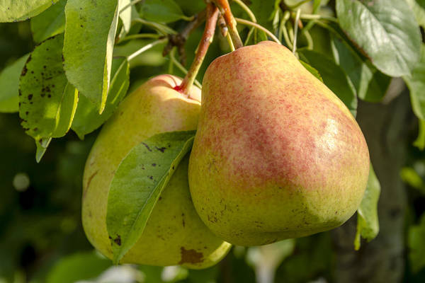 Photograph - Organic Pears Hanging In Orchard by Teri Virbickis