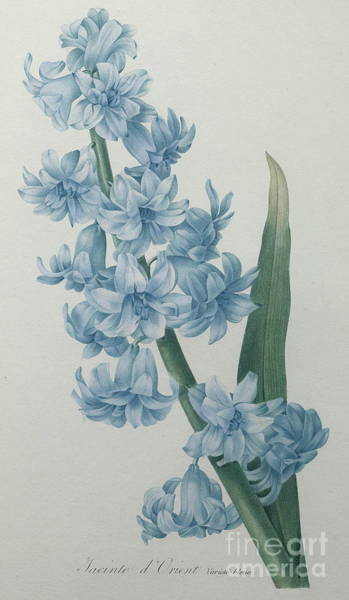 Wall Art - Painting - Oriental Hyacinth by Pierre Joseph Redoute