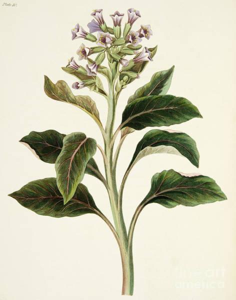 Wild Flowers Drawing - Oriental Hyoscyamus by Margaret Roscoe
