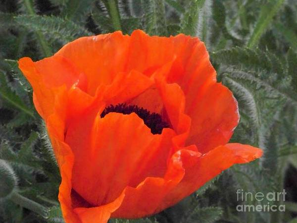 Photograph - Oriental Poppy by Charles Robinson