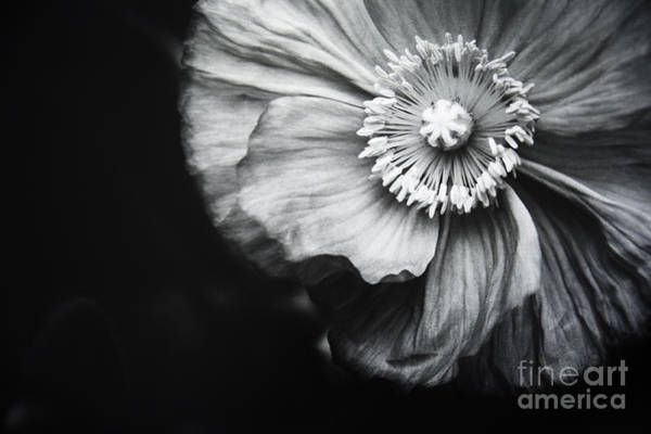 Photograph - Oriental Poppy by Charmian Vistaunet