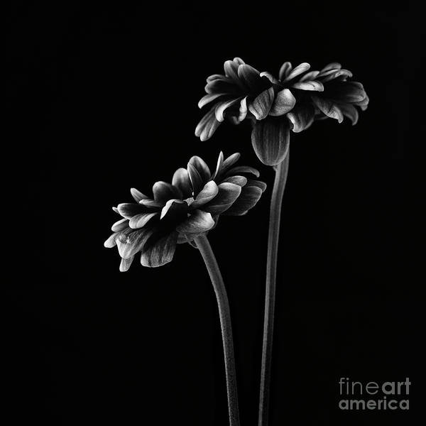 White Background Wall Art - Photograph - Orinoco Chrysanthemum by Masako Metz