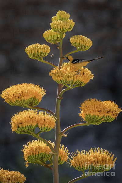 Oriole Photograph - Oriole And The Bees by Jeremy Dufault