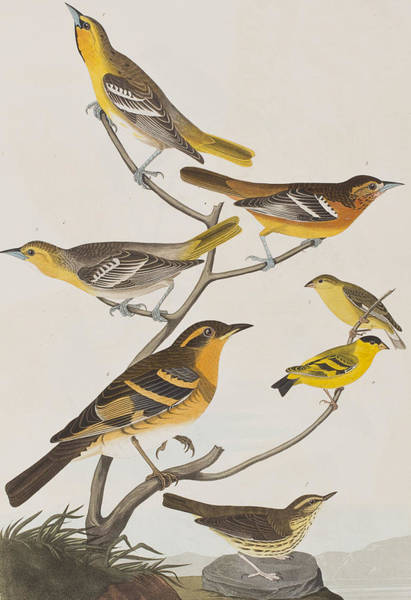 Wall Art - Painting - Orioles Thrushes And Goldfinches by John James Audubon