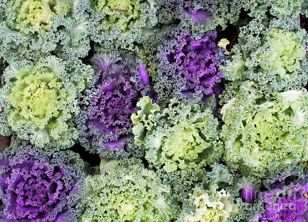 Photograph - Ornamental Cabbages by Tim Gainey
