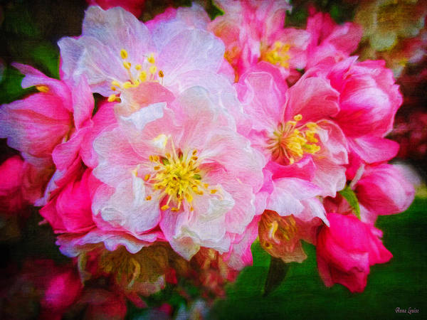 Photograph - Ornamental Crabapple Blossoms 1 by Anna Louise