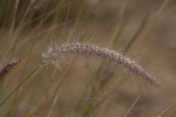 Pennisetum Photograph - Ornamental Grass by Zina Stromberg