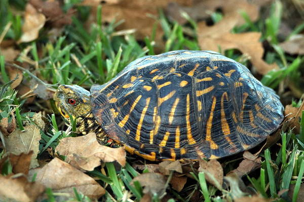 Photograph - Ornate Box Turtle by Sheila Brown