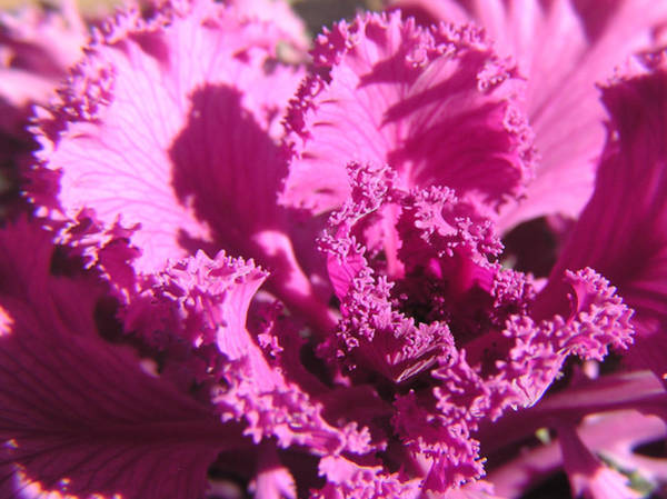 Photograph - Ornate Kale by Adam Johnson