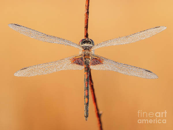 Photograph - Ornate Pennant Dragonfly I by Clarence Holmes