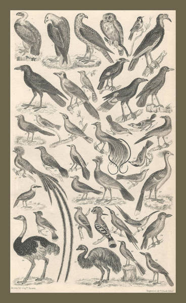 Wall Art - Drawing - Ornithology by Dreyer Wildlife Print Collections