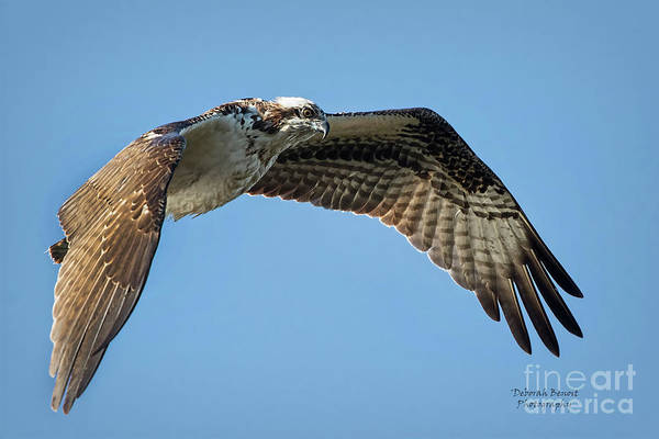 Wall Art - Photograph - Osprey 1 by Deborah Benoit