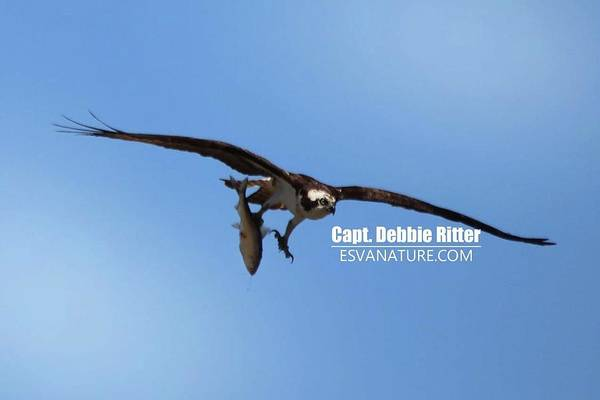 Photograph - Osprey 1351 by Captain Debbie Ritter