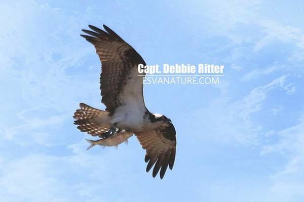 Photograph - Osprey 1749 by Captain Debbie Ritter