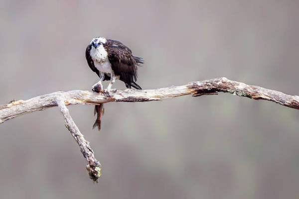 Photograph - Osprey 2 by Bill Wakeley