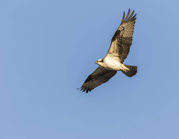 Photograph - Osprey 2016-2 by Thomas Young