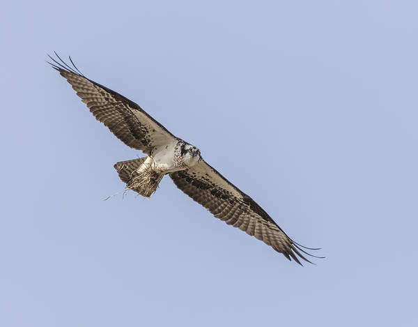 Photograph - Osprey 2016-4 by Thomas Young