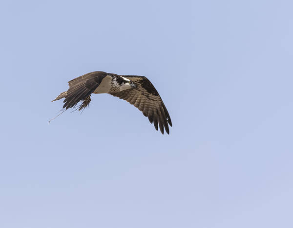Photograph - Osprey 2016-5 by Thomas Young