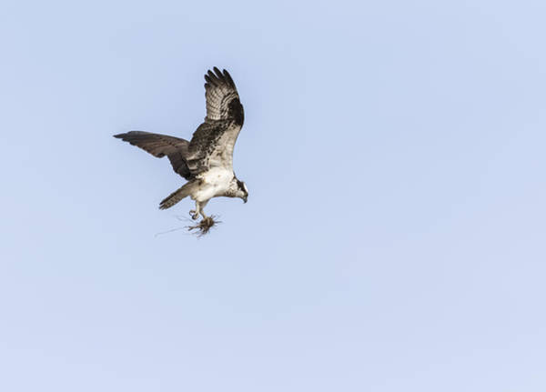 Photograph - Osprey 2016-6 by Thomas Young