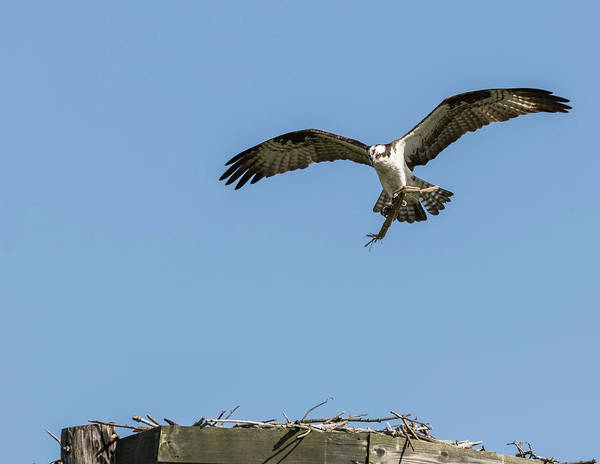 Photograph - Osprey 2016-8 by Thomas Young
