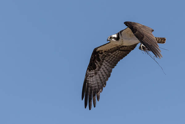 Photograph - Osprey 2017-1 by Thomas Young