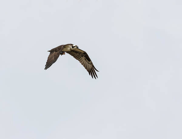 Photograph - Osprey 2017-2 by Thomas Young