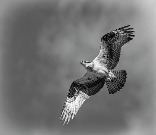 Photograph - Osprey 2017-4 by Thomas Young