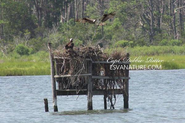 Photograph - Osprey 2089 by Captain Debbie Ritter