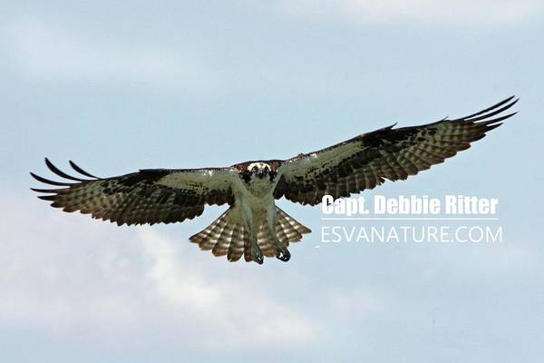 Photograph - Osprey 8127 by Captain Debbie Ritter