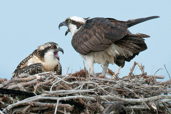 Photograph - Osprey Alarm 5137 by Dan Beauvais