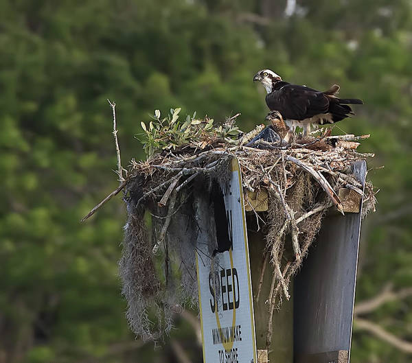 Photograph - Osprey And Chicks In Nest by Richard Goldman