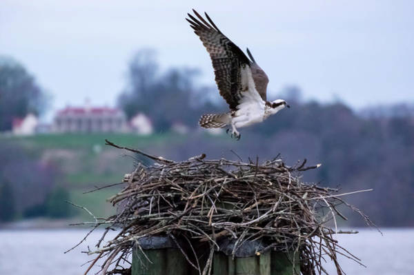 Photograph - Osprey And Mount Vernon by Buddy Scott