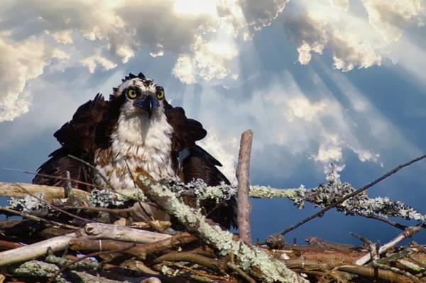 Photograph - Osprey Angry by Buddy Scott