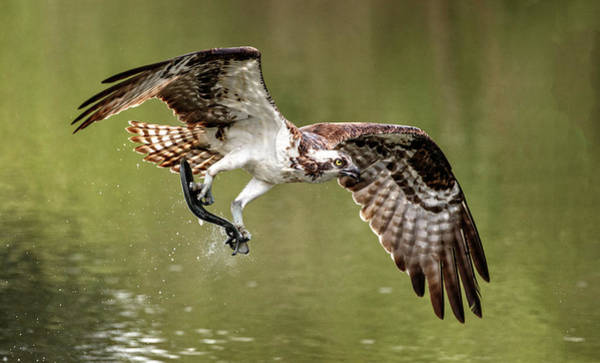 Photograph - Osprey At Lunchtime by Wes and Dotty Weber