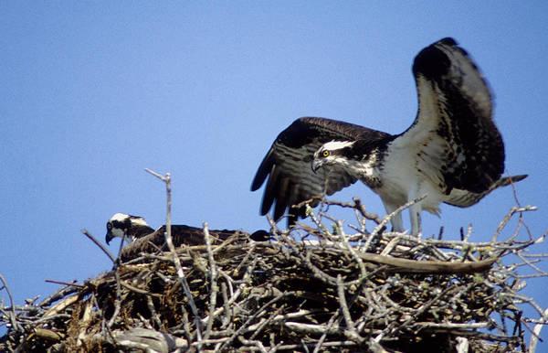 Photograph - Osprey At Nest-2 by Steve Somerville