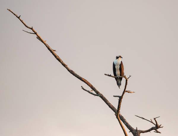 Photograph - Osprey At Sunset by Loree Johnson