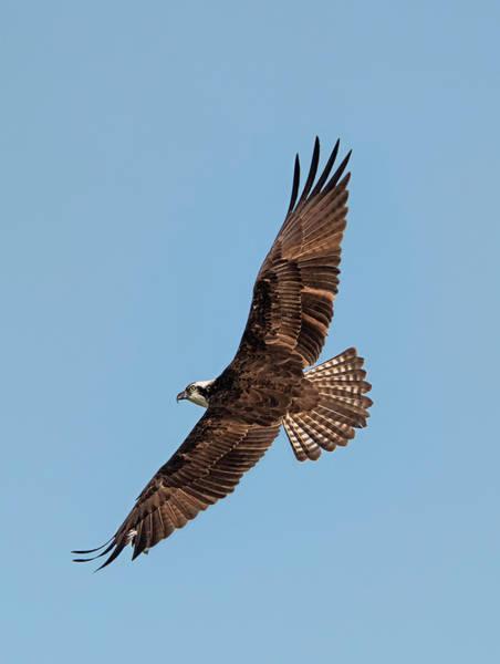 Photograph - Osprey Back View by Loree Johnson