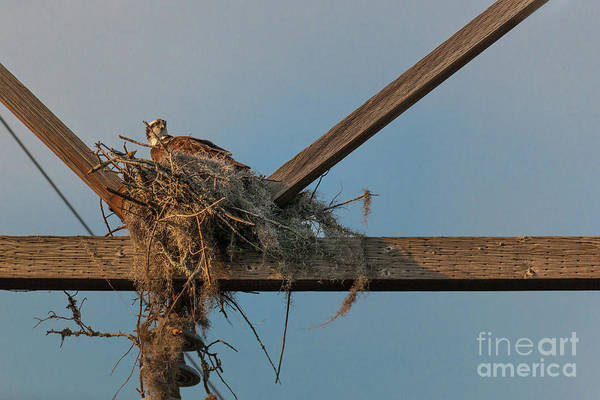 Photograph - Osprey Building Nest by Dale Powell