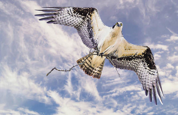 Osprey Building Nest Art Print