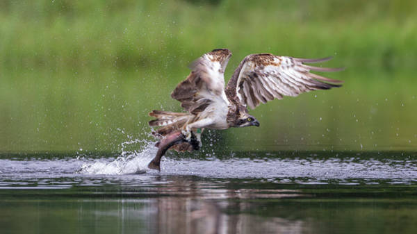 Photograph - Osprey Carries Fish by Peter Walkden