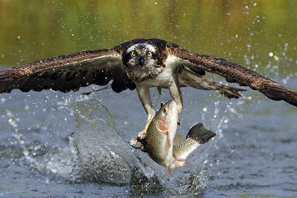 Splash Photograph - Osprey Catching Trout by Scott  Linstead
