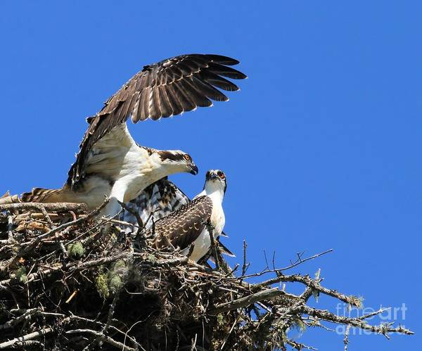 Photograph - Osprey Chicks Ready To Fledge by Debbie Stahre