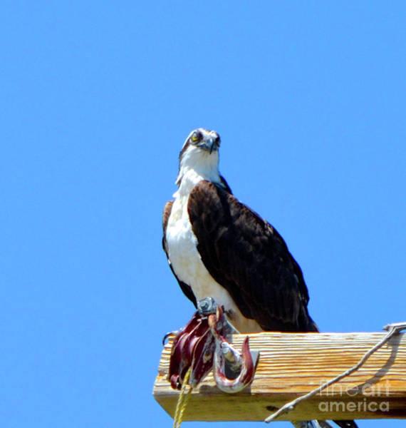 Photograph - Osprey by Cindy Schneider
